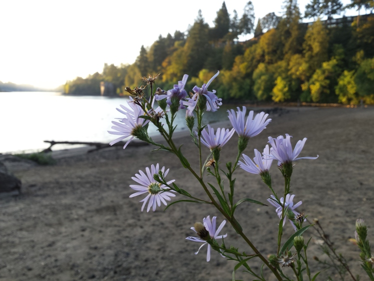 Asters on the beach