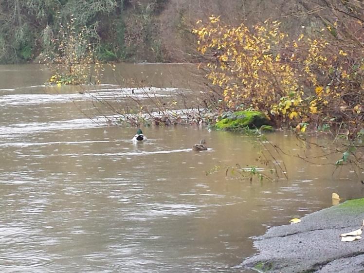 ducks in flood, willamette river