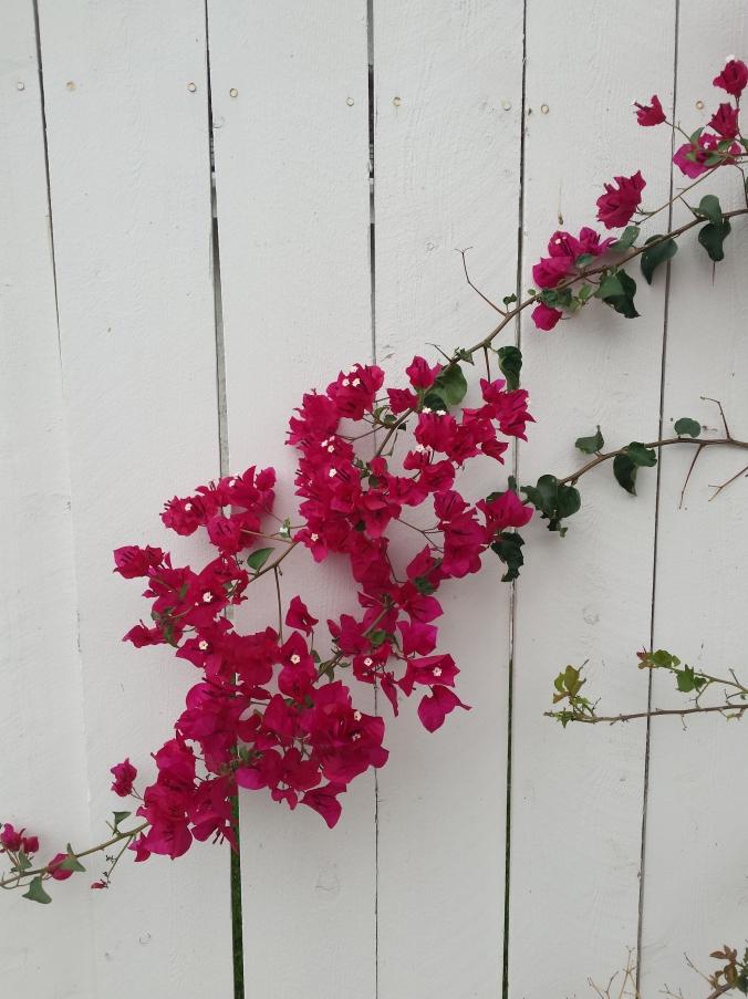 Deep pink bougainvillea on a white board fence
