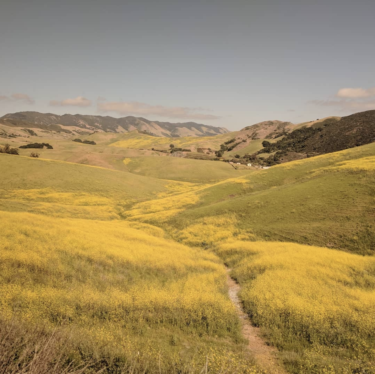 Mustard in full bloom lines a winding footpath in the hills above San Luis Obispo, California.