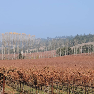 Crisped leaves on harvested grapevine rows in the Anderson Valley. A bright blue sky is veiled by thick wildfire smoke.