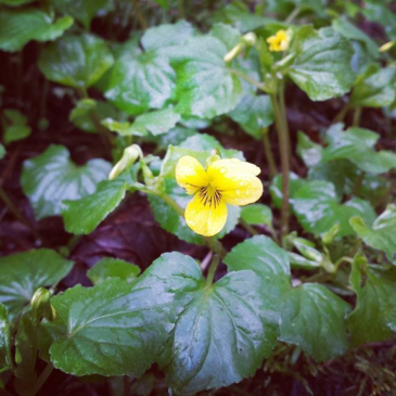 Yellow wood violets bloom quietly on the forest floor.